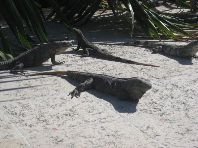 Iguanas at the Gran Bahia Principe, Mexico