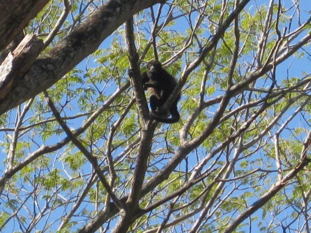 Howler Monkey in the Trees in Tamarindo
