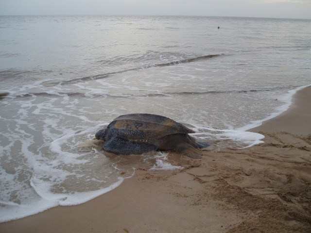 Leatherback Turtle Heading to Sea