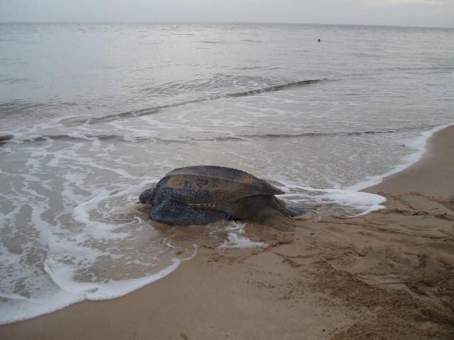 Leatherback Turtle Heading to Sea