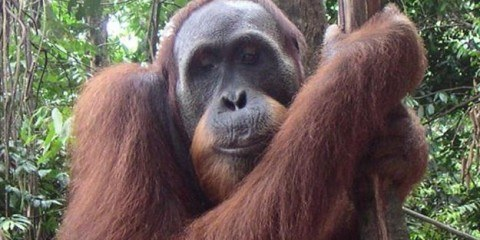 Orangutan in Bukit Lawang Indonesia
