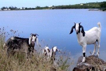 Goats on St Martaan