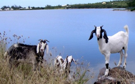 Goats on St Martaan