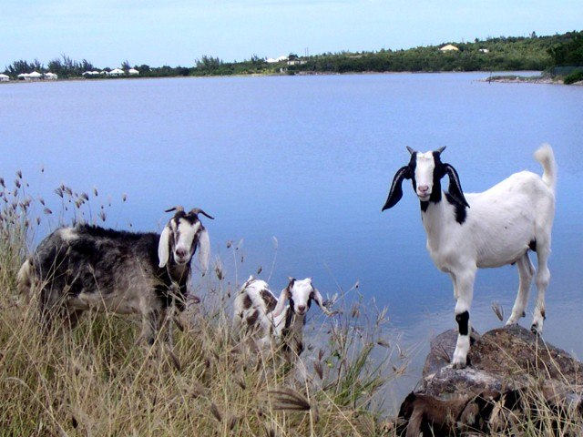 Goats on St Martin