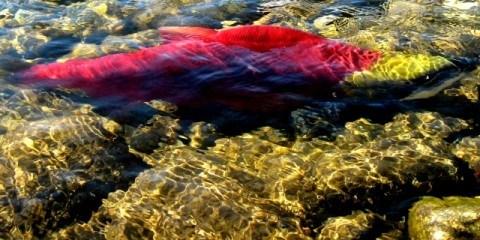 Salmon Run of The Century Adams River