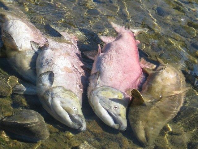 Spawning Salmon in Adams River Dead