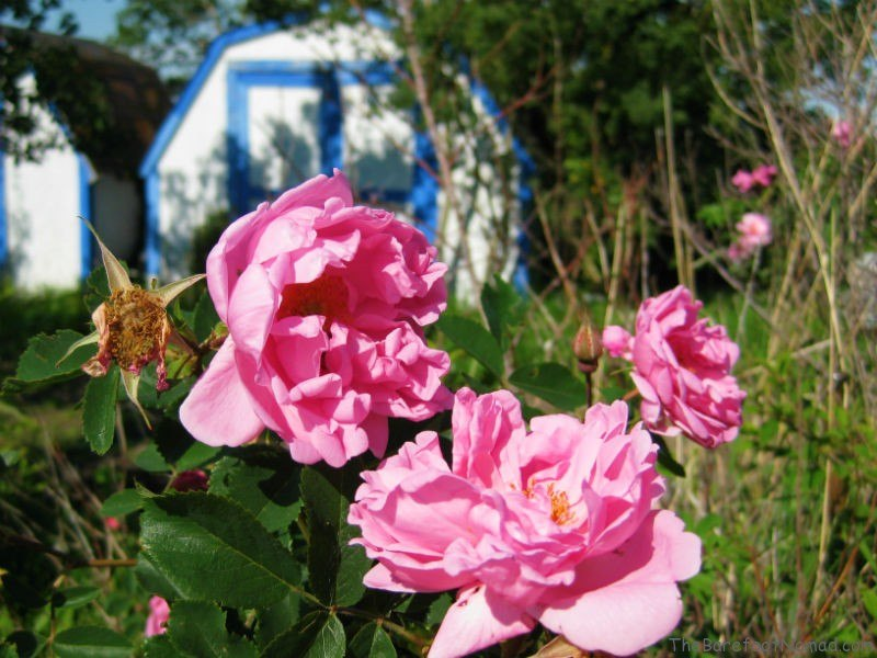 Wild Roses and Blue Garden Shed