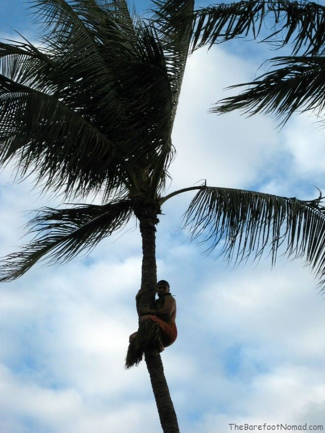 Hale Koa Tree Climber  Waikiki Hawaii