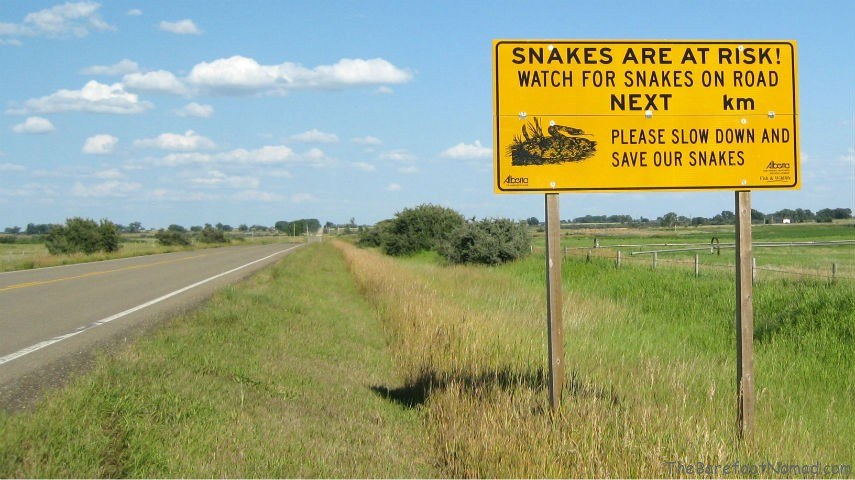 Snakes on the Road Dinosaur Provincial Park Patricia Alberta