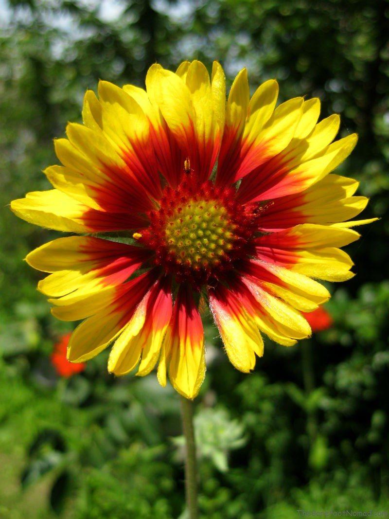 Yellow Daisy Central Alberta Garden