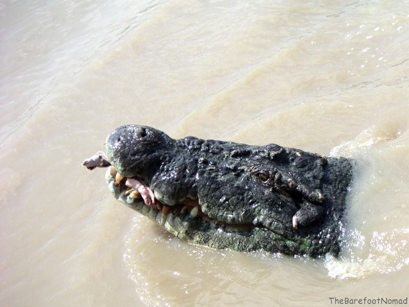 Croc with Meat in Teeth Adelaide River