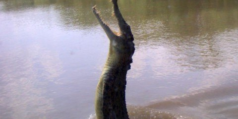Jumping Crocodile on the Adelaide River