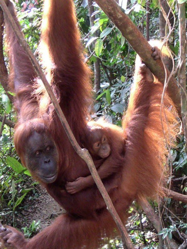Orange Orangutan and Baby Bukit Lawang Indonesia