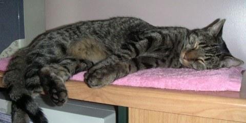 Sleeping Tabby Cat