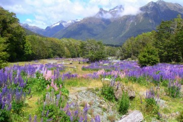 Violet New Zealand Field and Mountains