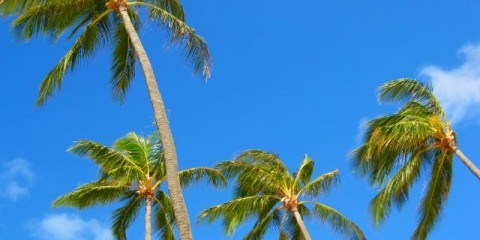Palm Trees Swaying in the Breeze at Kailua Beach, Oahu