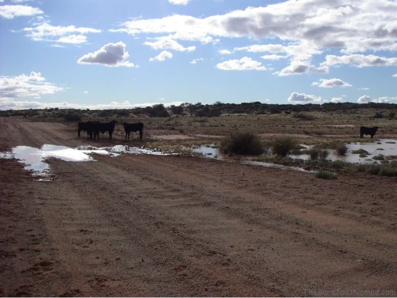 Anna Creek Cattle on the Oddnadatta Track
