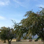 Horses at pasture in Tranquille / Padova City
