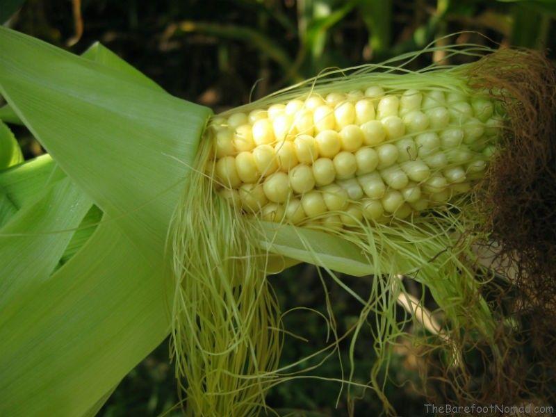 Corn kernels Tranquille Farm Fresh Kamloops Corn Maze