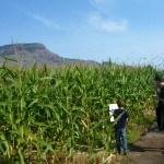 Clues in the corn maze Tranquille Farm Fresh