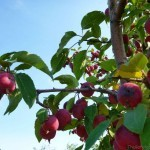 Crabapples at Tranquille Farm Fresh Kamloops