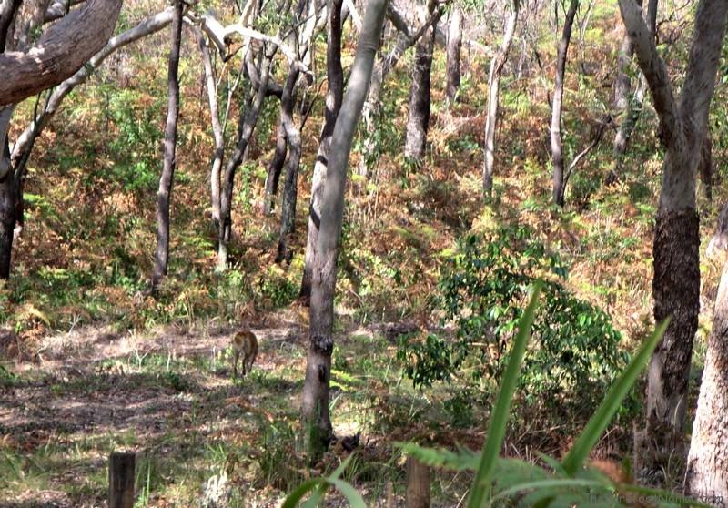 Dingo in the rainforest of Fraser Island Australia