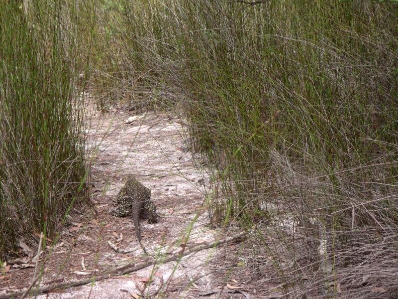 Goanna Monitor lizard Fraser Island Australia
