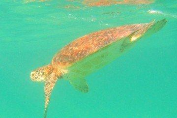 Akumal Mexico Turtle Diving
