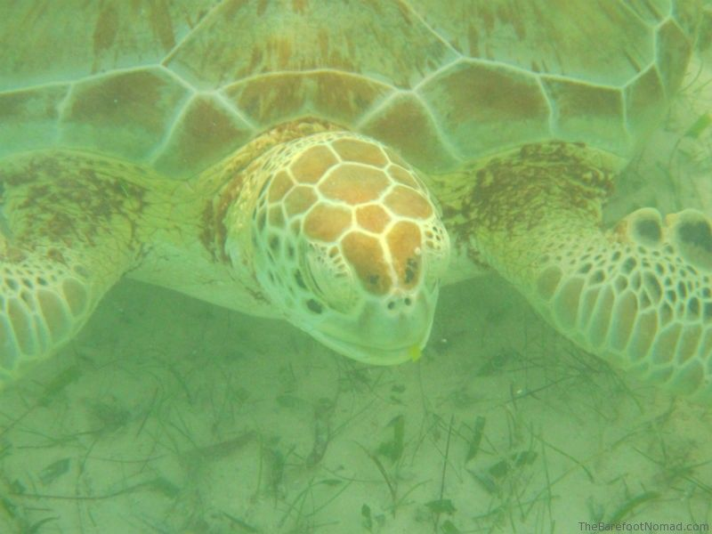 Green Sea Turtle Eating Sea Grass Akumal Mexico Mayan Riviera