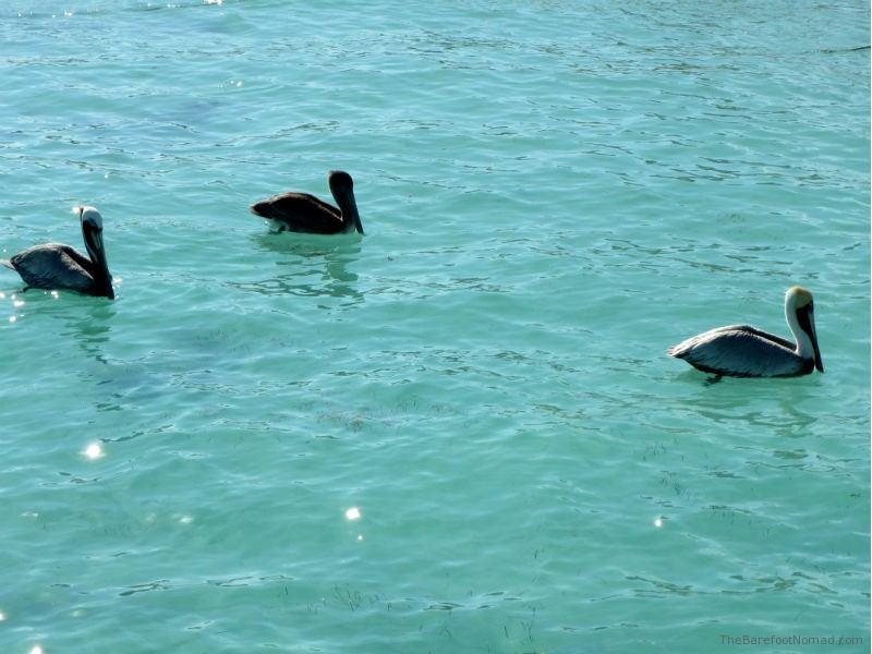 Pelicans in Puerto Morales Mexico