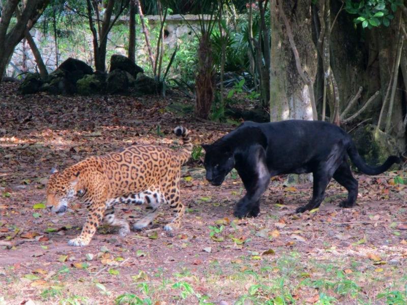 Xcaret Pacing Jaguars