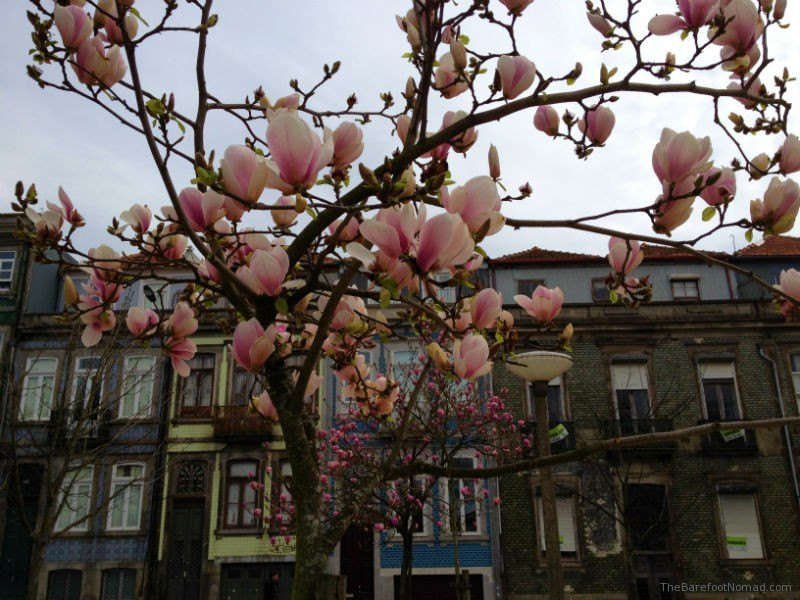 Blossoms on the streets of Porto Portugal