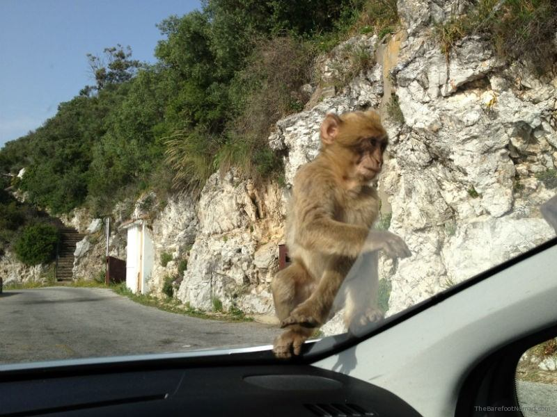 Gibraltar Macaque Waiting to Get Into The Car