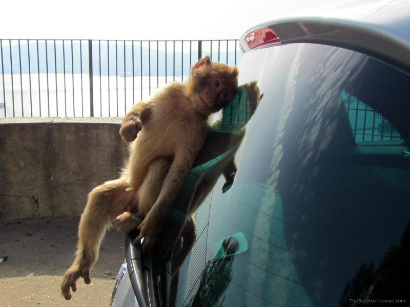 Cheeky Monkey on Our Car Gibraltar
