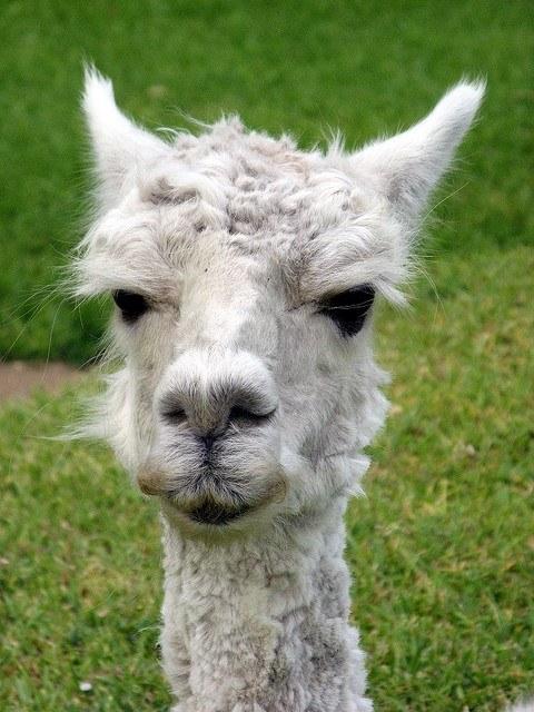 Cute alpaca Peru