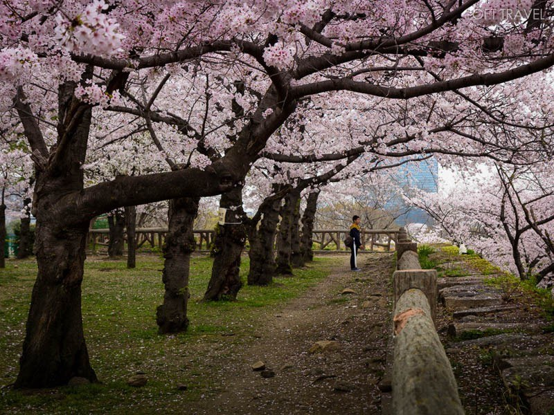 Cherry Blossoms at Osaka Castle Park by Loft Travel
