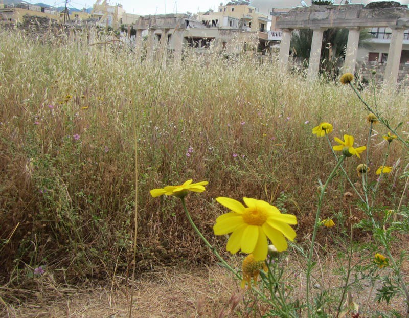 Tall grass at Kos' Western Excavations Greece