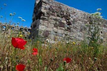Wild Poppies at Kos Castle Greece