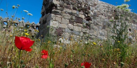 Wild Poppies at Kos Castle Greece