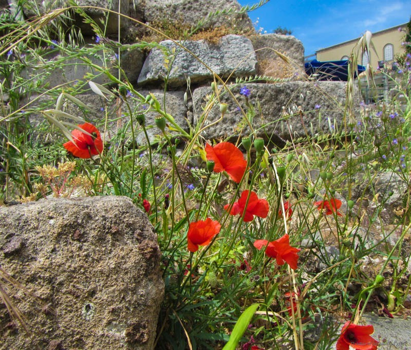 Wildflowers among the Agora ruins in Kos Greece
