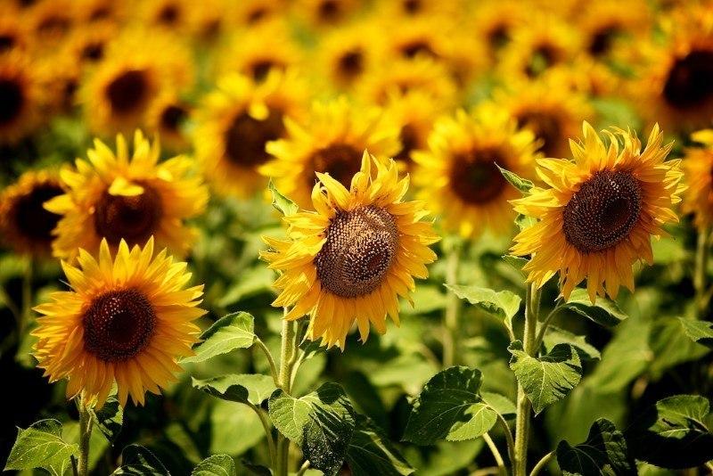 Sunflowers in Bulgaria by Yovko Lambrev on Flickr