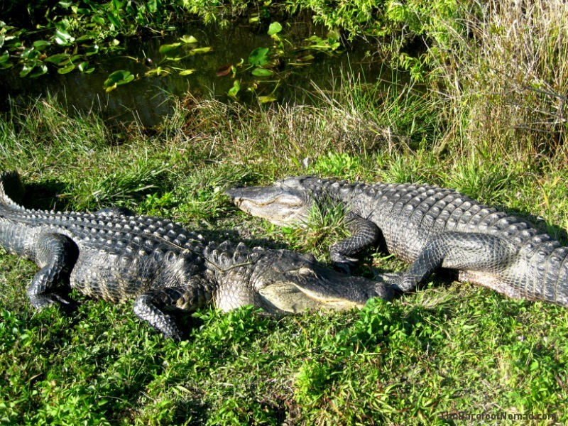 Alligators Lounging in the Everglades