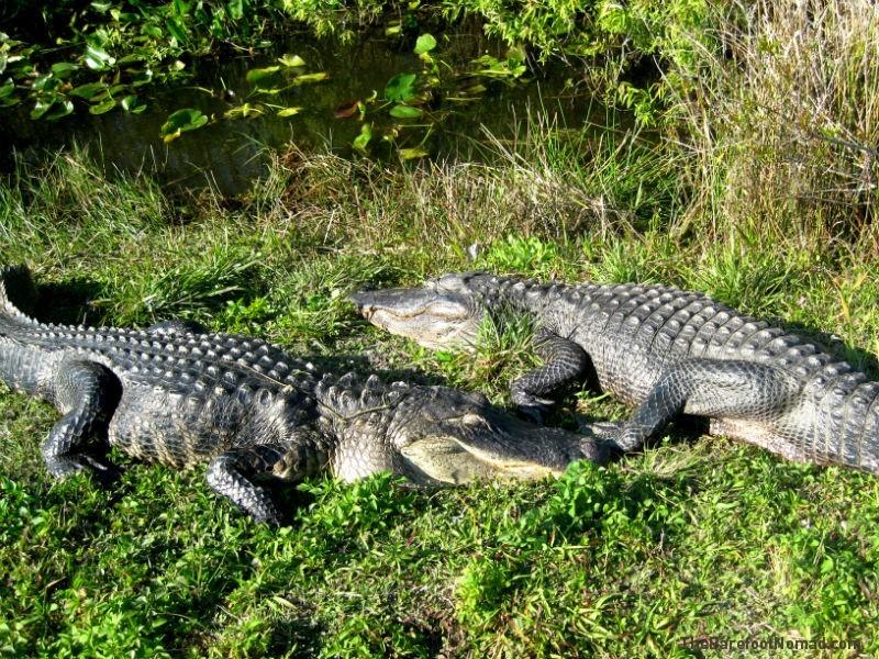 Alligators Lounging in the Everglades