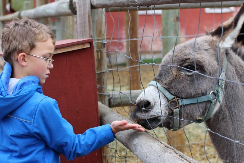 Boy feeding a little donkey at the petting zoo Canon EOS Rebel SL1