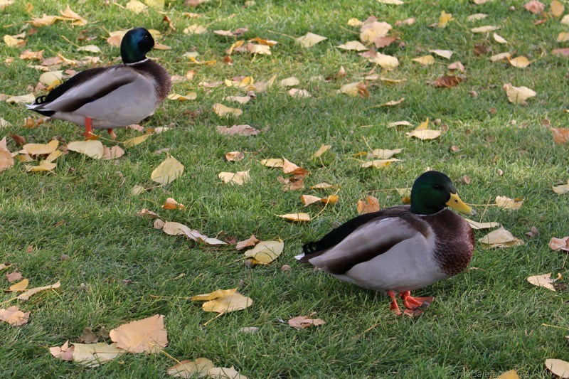 Ducks in the park