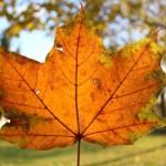 Sunlight through a leaf Kelowna fall Canon Rebel SL1
