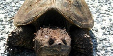 Everglades Tortoise