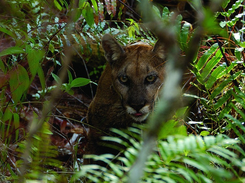 Florida Panther Courtesy of Ralph Arwood Big Cypress National Preserve on Flickr