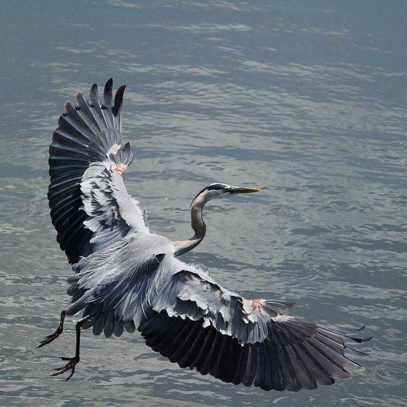 MF Great Blue Heron By Matthew Hull
