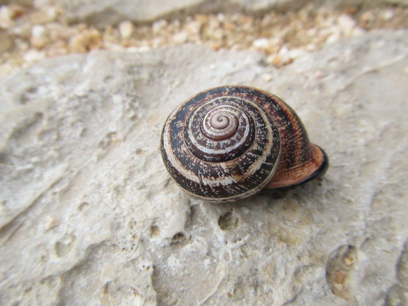 Large snail crossing the pathway at Sagres Point